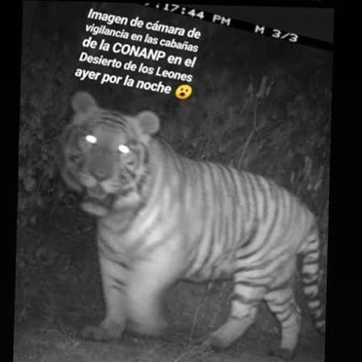 """Ni se emocionen, el tigre del Desierto de los Leones es """"solo un rumor"""""""