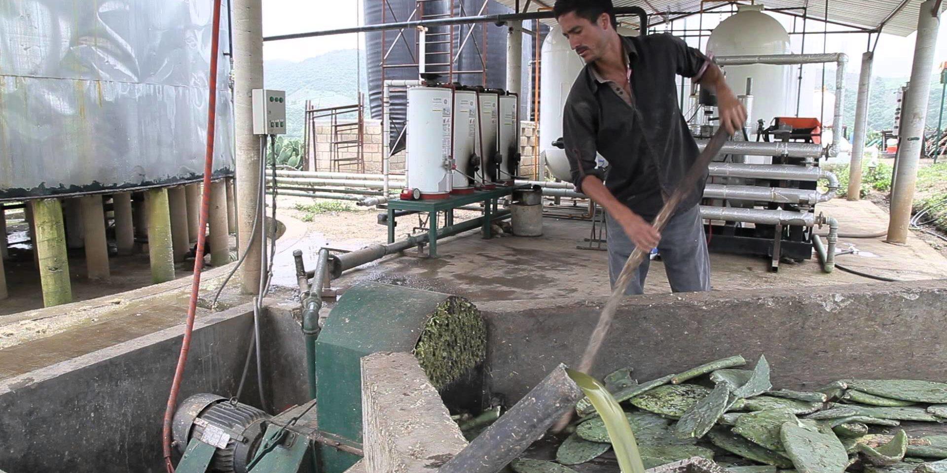 Electricidad a la mexicana: En nuestro país se genera energía a partir del nopal