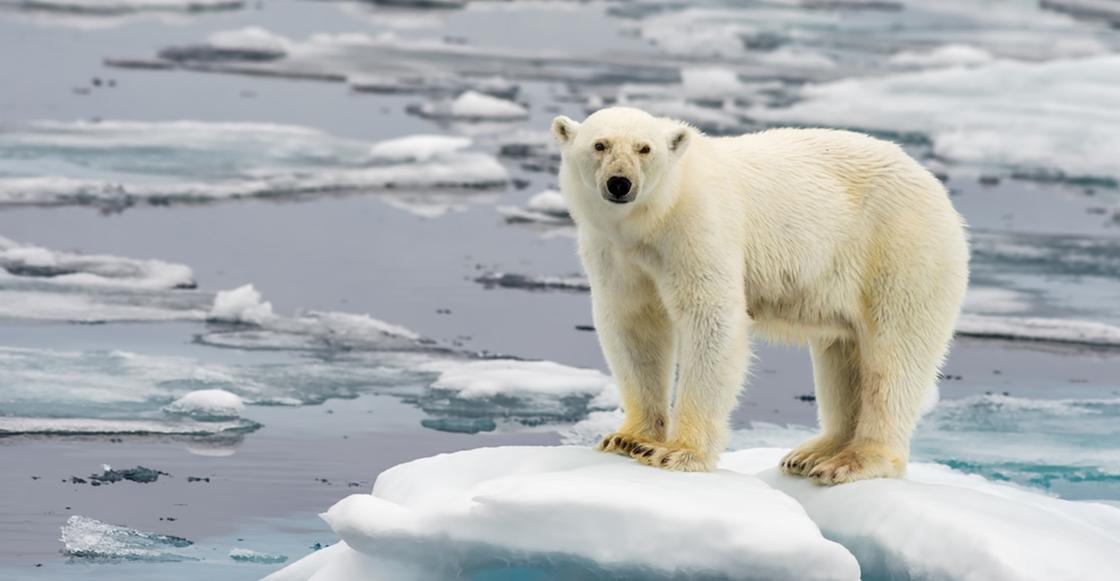 Calentamiento global: Una ciudad rusa se declaró en estado de emergencia por la invasión de osos polares