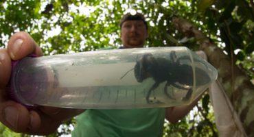 ¿Es el gran Hutch? Encuentran a la abeja más grande del mundo después de 38 años