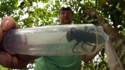 ¿Es el gran Hutch? Encuentran abeja más grande del mundo después de 38 años
