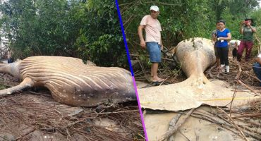 Una ballena fue hallada muerta en medio del Amazonas y nadie se explica cómo llegó ahí
