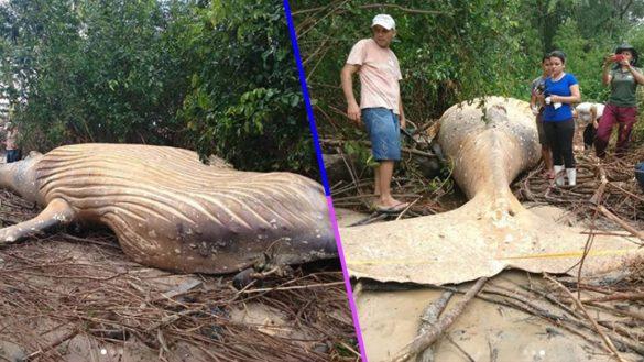 Una ballena fue hallada muerta en medio del Amazonas y nadie se explica cómo llegó ahív