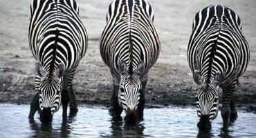 ¿Por qué las  cebras tienen rayas? 🤔