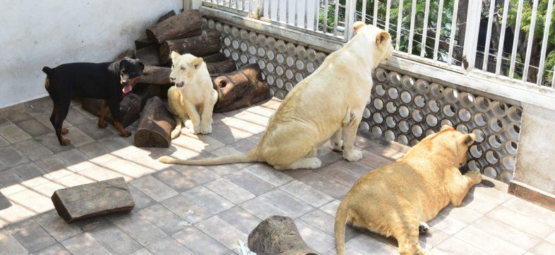 Profepa decomisa leones que vivían en una azotea de la alcaldía Iztacalco