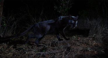 ¡Milagro! Fotografían a un leopardo negro en África después de 100 años