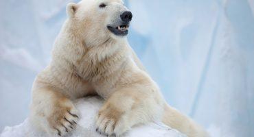 ¡Rusia declaró estado de emergencia por invasión de osos polares!