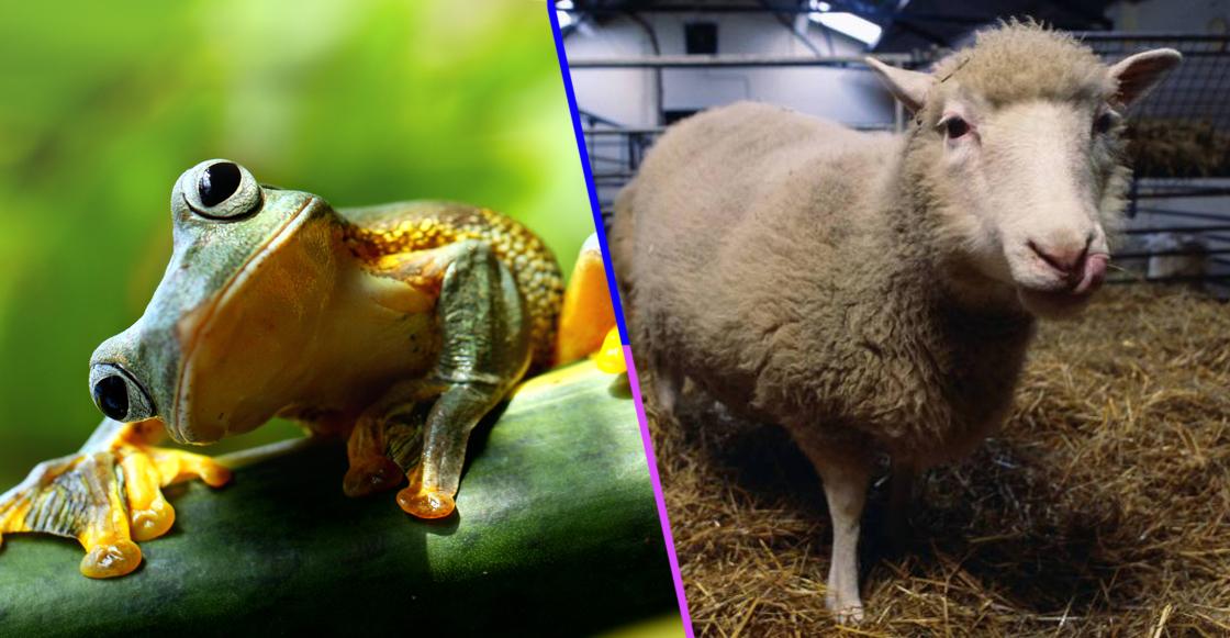 La ranas de Gurdon, los primeros animales clonados antes que la oveja Dolly