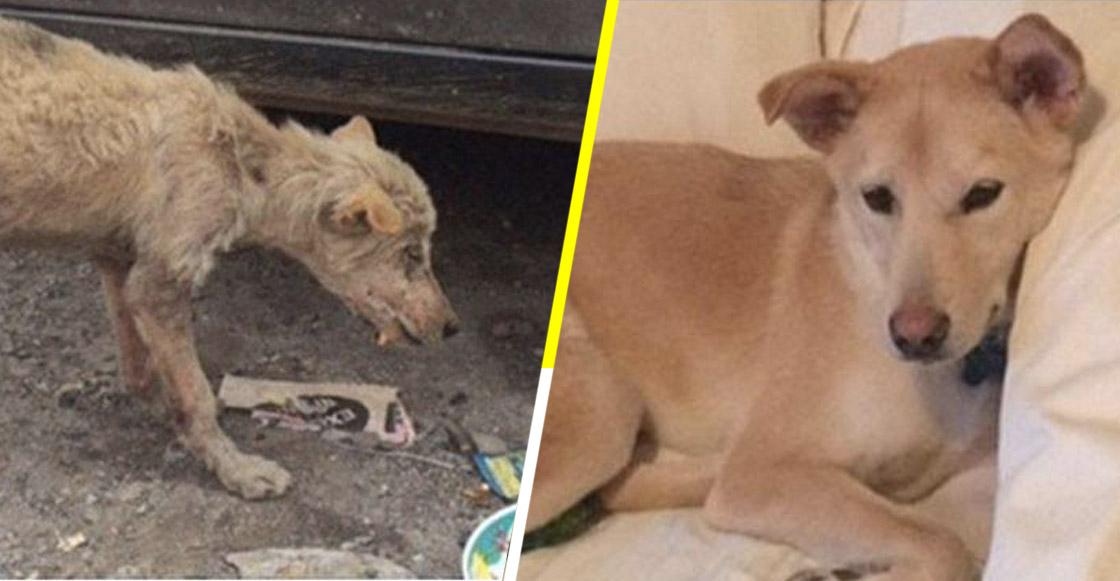 Hermosas transformaciones: 11 fotos de perritos antes y después de ser adoptados