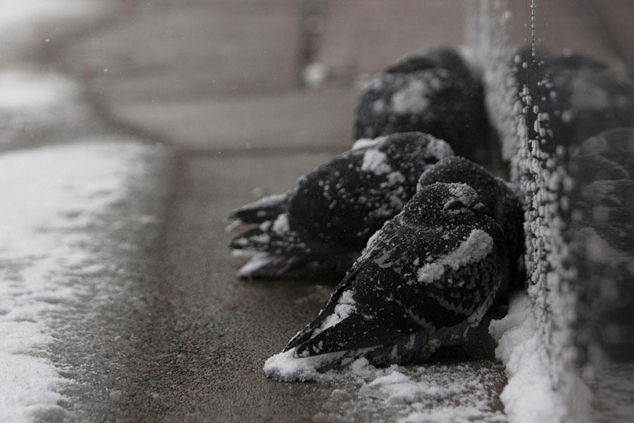 Después de las fuertes tormentas de nieve, a las aves no les queda de otra, más que protegerse entre ellas mismas, acurrucándose entre sí, para generar un poco de calor, en el helado invierno de Búfalo, Nueva York.