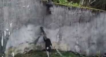 ¡Estos chimpancés hacen