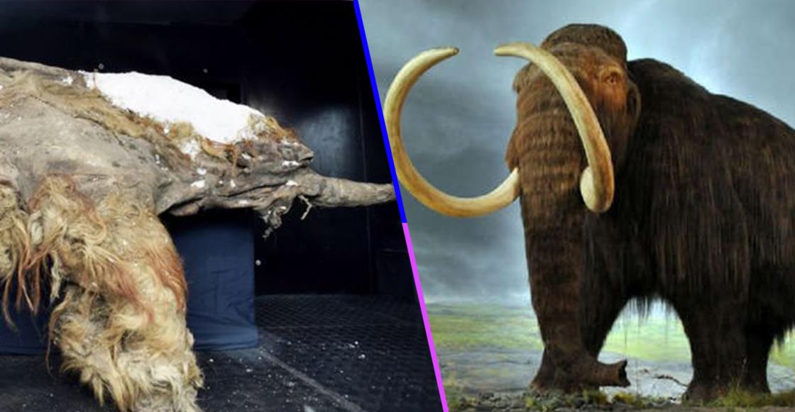 ¡¿Cómo?! Científicos en Japón lograron activar las células de un mamut de hace 28 mil años