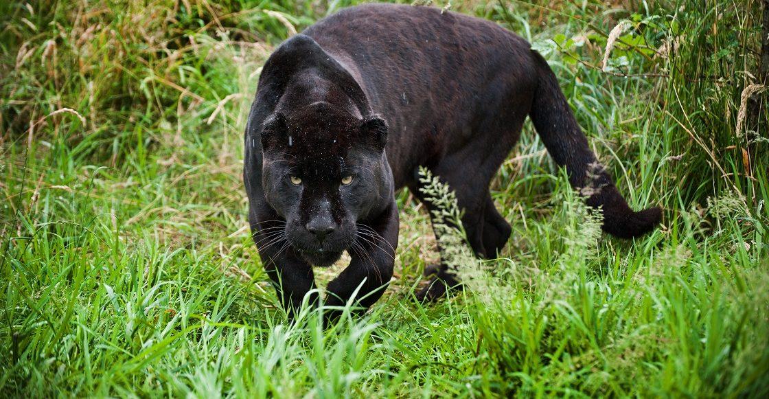 Jaguar negro