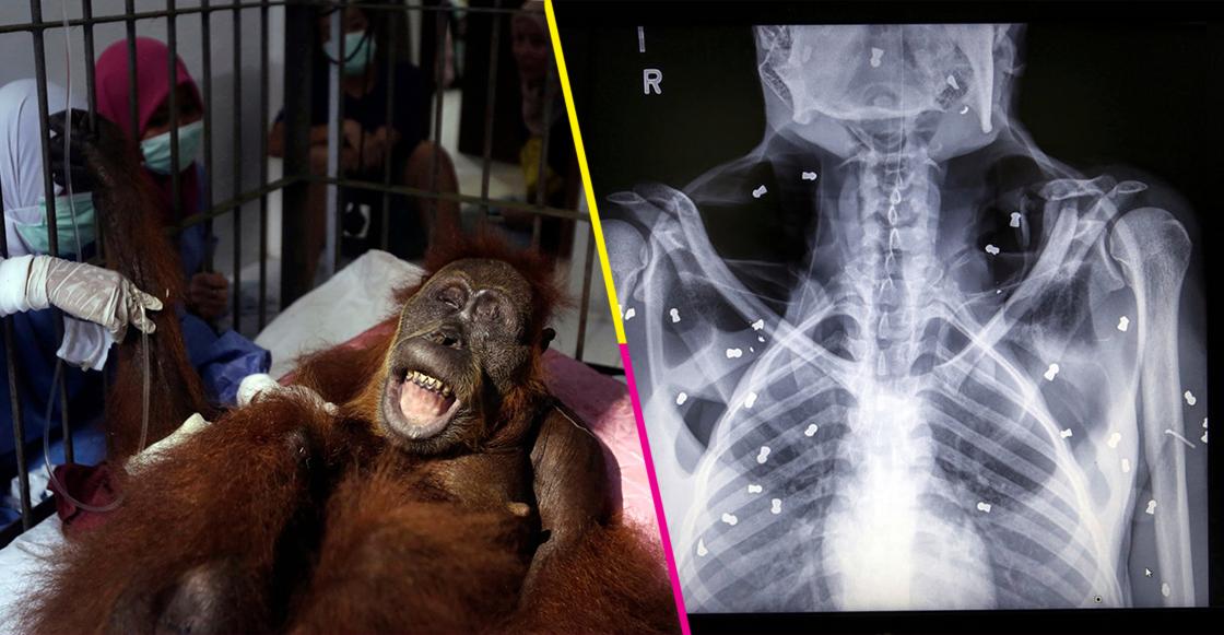 Mundo enfermo y triste: Orangután en peligro de extinción queda ciego tras recibir 74 disparos