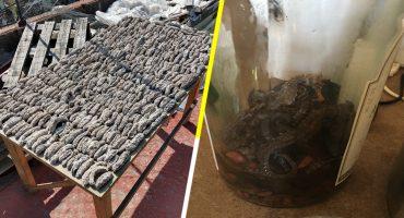 Mundo enfermo y triste: Aseguran mil 300 pepinos de mar y caballitos de mar en CDMX