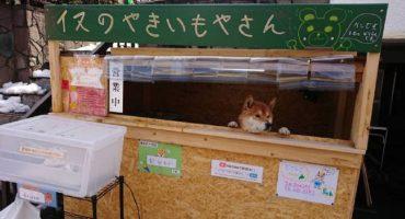 Con ustedes: La tienda de papas en Japón que es atendida por... ¿un perrito?