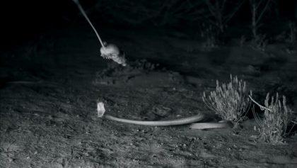 Mágico Mundo Animal: Así se ve una rata canguro esquivando a una serpiente