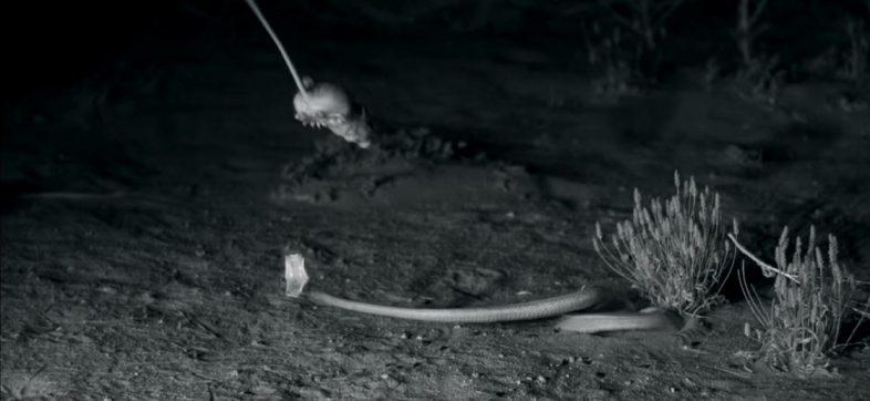 Rata canguro - Ninjas del reino animal