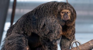 Este majestuoso y muscular mono ha causado impacto en un zoológico finlandés