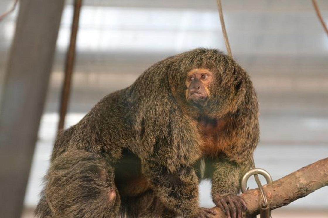 Sakí de Cara Blanca - Mono de Sudamérica