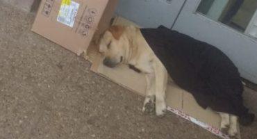 Él es Toto, el perrito labrador que espera afuera del hospital a su dueño fallecido 😔