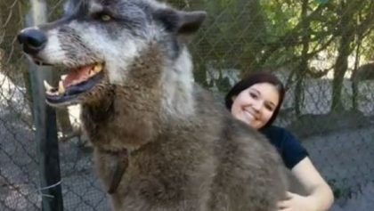 Conoce a Yuki, el Wolfdog que es tan grande que se hizo viral por parecer falso