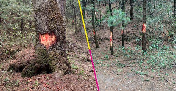 Marcan árboles en el Desierto de los Leones para supuestamente talarlos ilegalmente 😡