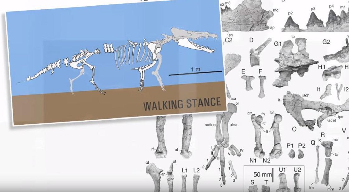 Ballena de cuatro patas de hace 43 millones de años