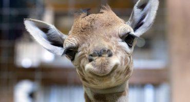 ¡Van! La jirafa bebé de Chapultepec busca nombre y necesita tu ayuda