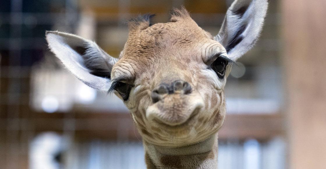 jirafa-bebe-chapultepec-nombre-concurso