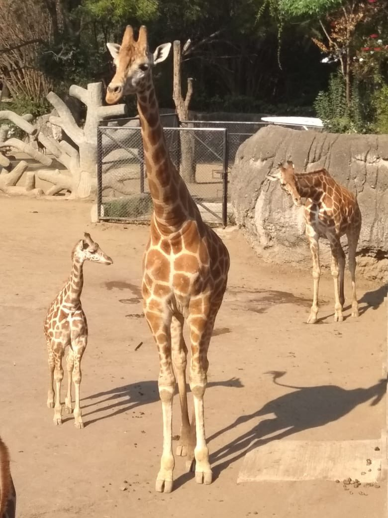 jirafa-bebe-chapultepec
