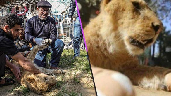 Mundo enfermo y triste: Le amputaron las garras a una leona para que pudiera
