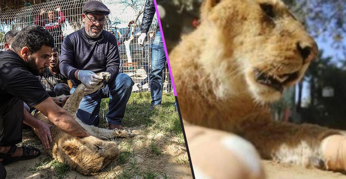 """Mundo enfermo y triste: Le amputaron las garras a una leona para que pudiera """"jugar"""" con visitantes"""