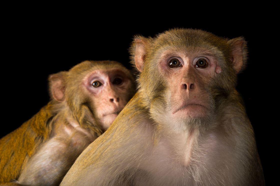 macaco-rhesus-especie-mono-experimento-china