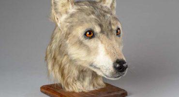 ¡Wooow! Mira la reconstrucción de la imagen de un perro con más de 4 mil años de antigüedad