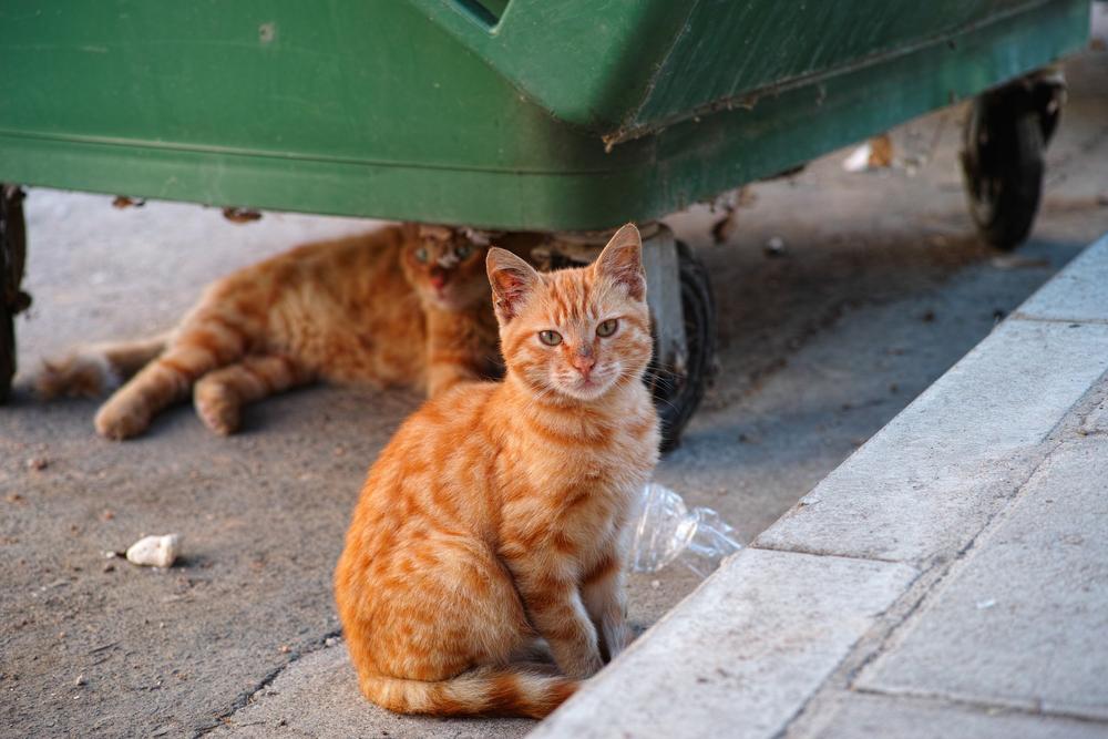 gatos-coronavirus