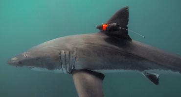 Un tiburón con una cámara nos lleva de cacería a las profundidades del mar