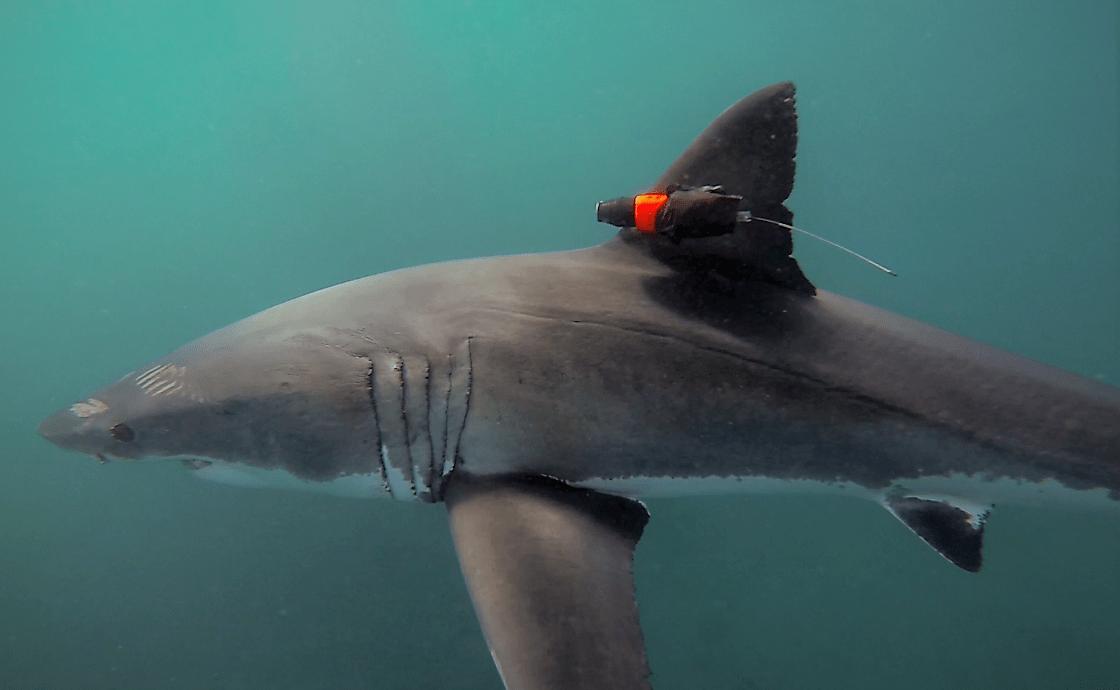 Tiburón blanco de cacería