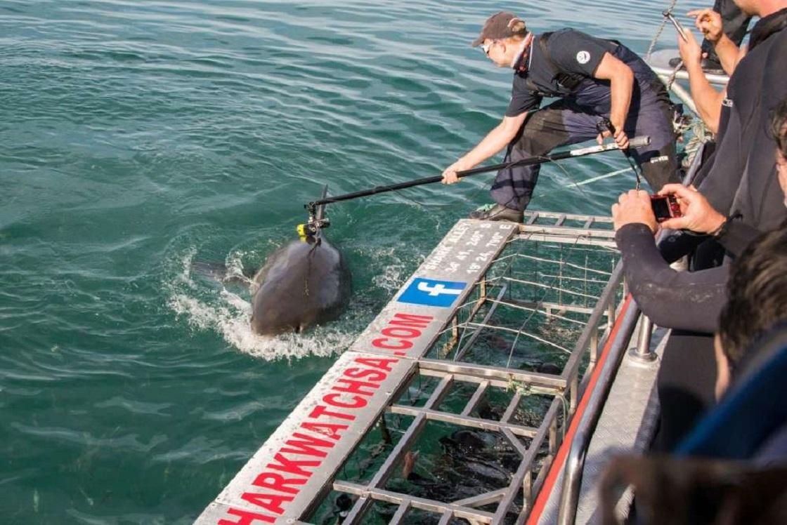 Tiburón blanco con un cámara