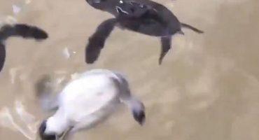 La triste realidad detrás del video de la tortuga bebé que se hizo viral