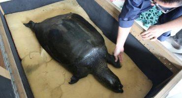 ¡Nooooooo! Murió la última tortuga hembra de caparazón blando de Yangtzé