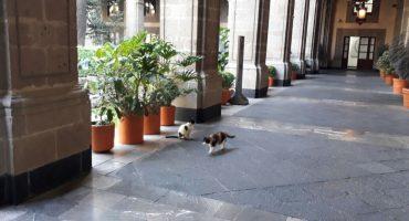 """#ConLosGatosNo: Denuncian que """"dormirán"""" a gatos de Palacio Nacional; SHCP lo niega"""