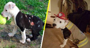 La historia del pitbull que fue salvado de un incendio y se convirtió en bombero 🐶