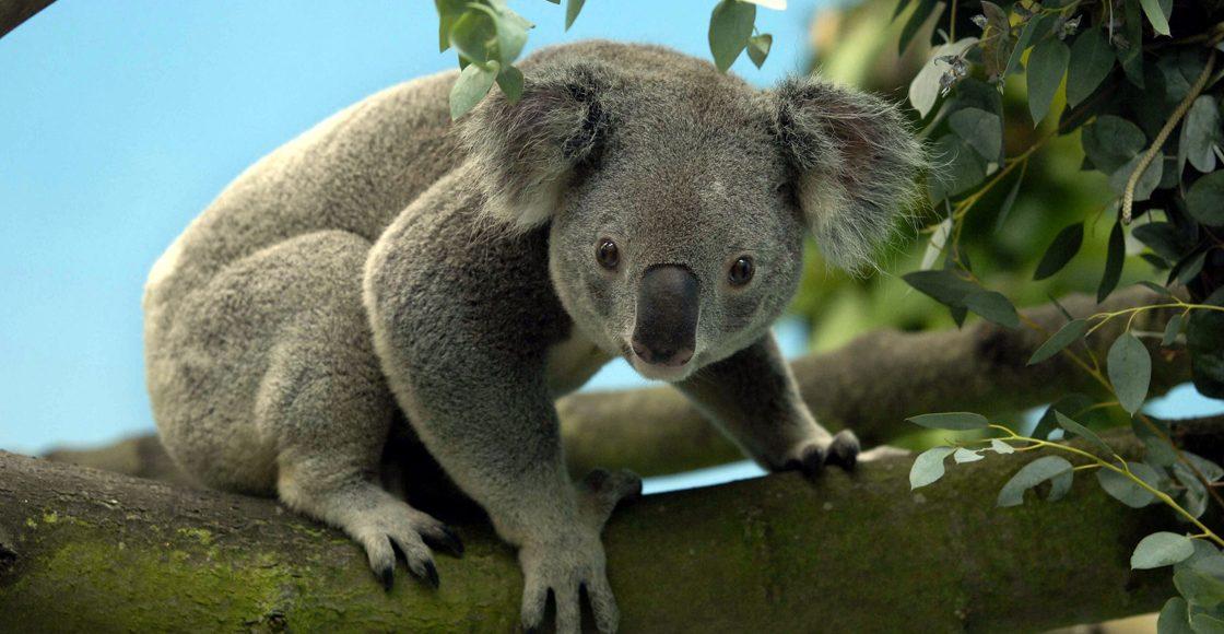 """Los koalas son una especie """"funcionalmente extinta"""" en Australia"""