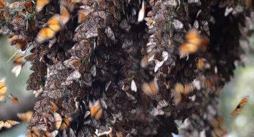Imperdible: El sonido producido por el aleteo de 140 millones de mariposas