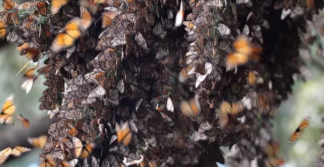 Mariposas monarca - Aleteo