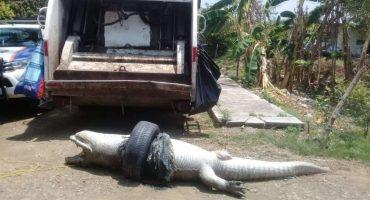 ¡Qué triste! Un cocodrilo murió asfixiado en Veracruz por atorarse en una llanta