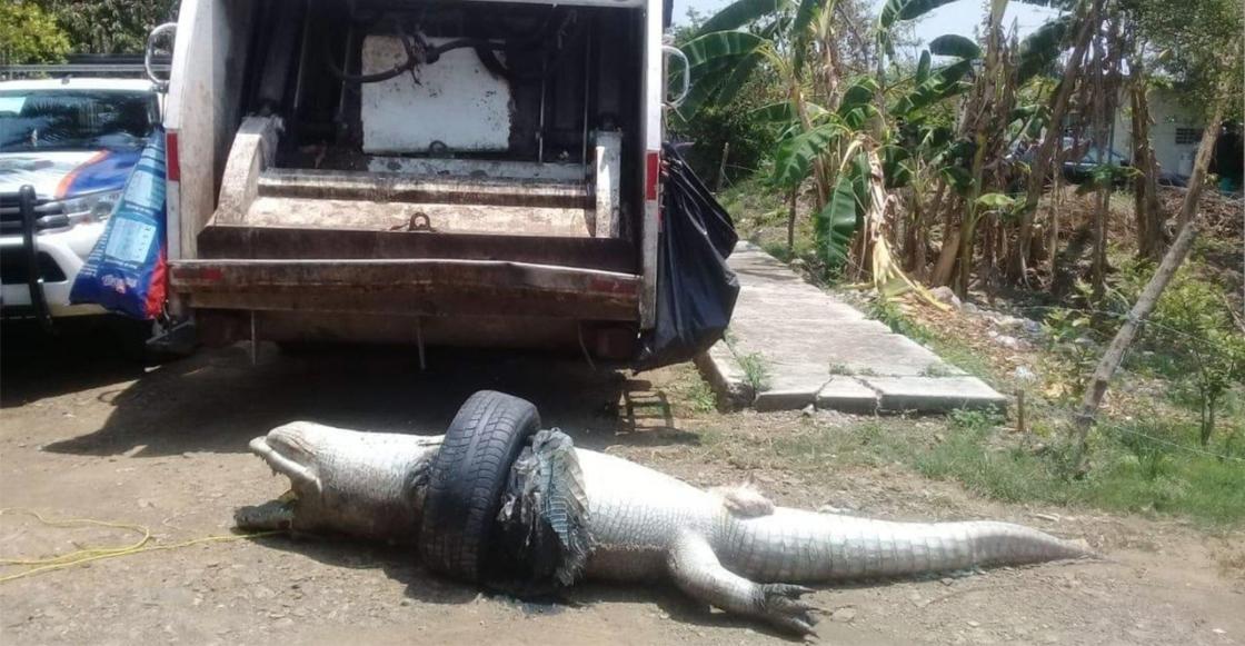 ¡Que triste! Un cocodrilo murió asfixiado en Veracruz por atorarse en una llanta