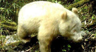 Captan en imagen a un panda albino gigante por primera vez en la historia