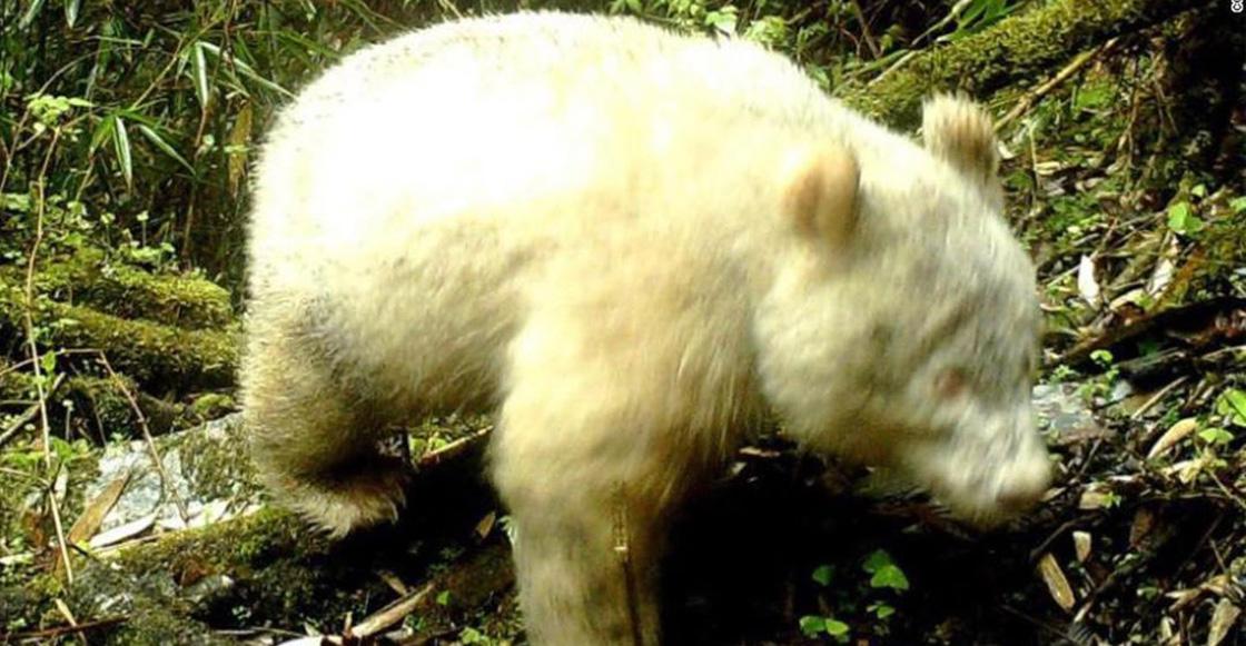 Por primera vez en la historia, captan en video a un panda albino gigante